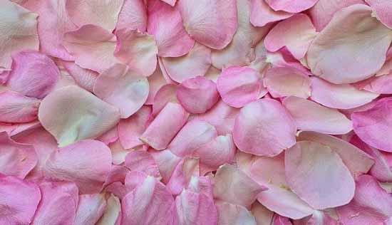 des pétales de roses
