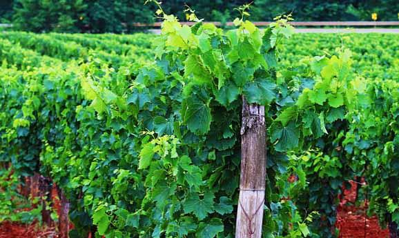 Un vignoble sur la route des vins d'Alsace